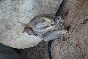 Mama en baby wallaby