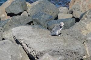 St Kilda pinguïns