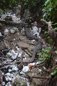 Krokodillen nog in de kooi